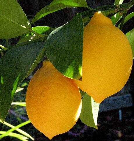 Meyer Lemons ripening on backyard tree