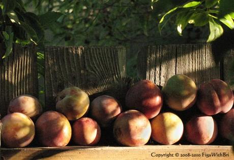 'Flavor Supreme' pluot harvest stacked up on our side fence.