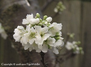 Spring 2008 'Flavor Supreme' pluot blossoms